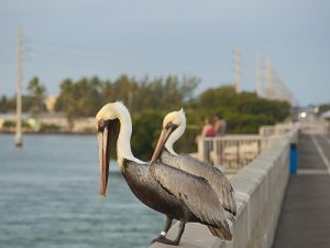 Key West Pelicans